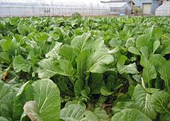 かつお菜の畑