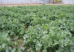 ちぢみ菜の畑