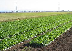 娃々菜の畑
