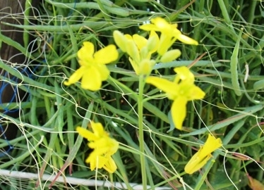 ちぢみ菜の花