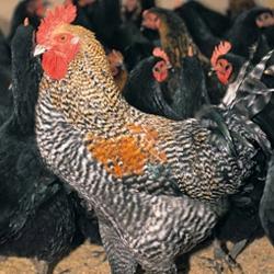 やまがた地鶏