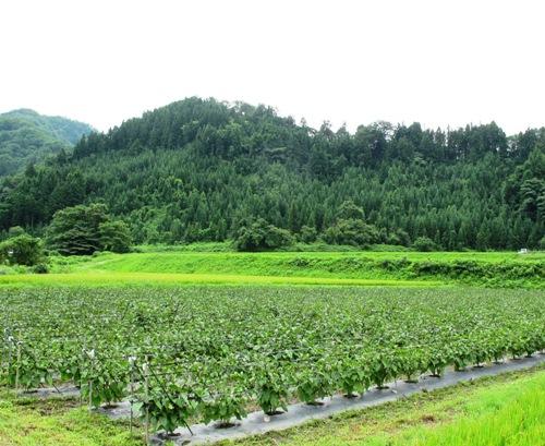 沖田なす畑