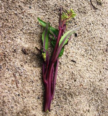 収穫した紫折菜