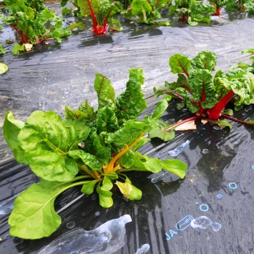 西洋のなつ菜(不断草)は、茎の色が黄色や赤色、オレンジ色といったカラフルな色合いで、スイスチャ―ドと呼ばれています。